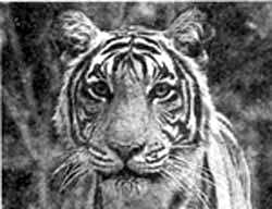Uproar over tiger show ban