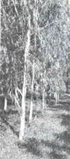 Axing the eucalyptus