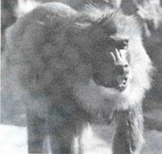 Baboon aids