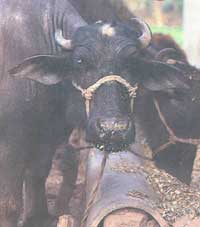 Changing need in cattle feed