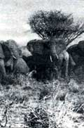 African elephants: a future in