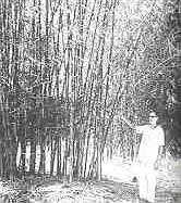 Bamboo boom