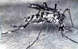 The   Aedes aegypti:   carrier (Credit: <font class=UCASE>who</font><s)