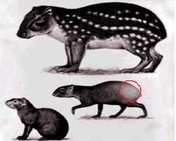 Agouti : the prolific gene