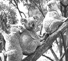 Boom-time for koalas