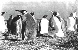 Emperor penguins: swimming to<