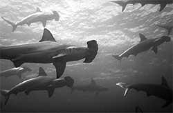 Sharks have been preyed upon i
