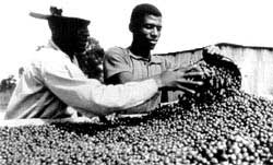 Coffee beans: a threat to the<