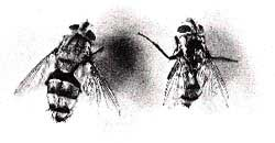 Houseflies : transmitting dead