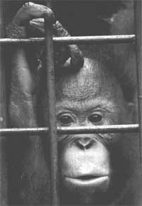 No planet for apes