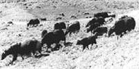 Yaks grazing on a hillside in