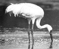 The Siberian crane: calling fo
