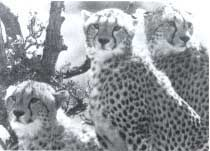 Cheetahs will be seen in India (Credit: CSE)