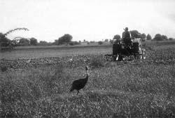 Green pastures?A sarus crane l