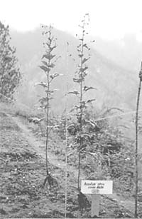 The Himalayan herb grower
