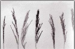 In Search of the Forgotten Rice Varieties