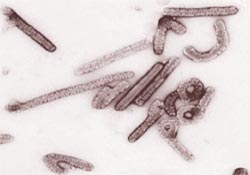 A search for the Marburg virus