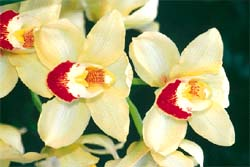 The Cymbidium standard hybrid<