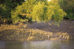 Mangroves' rescue act