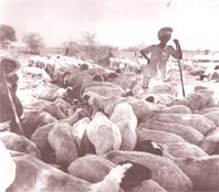 Saving livestock