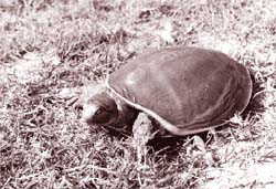 Olive Ridley deaths