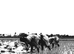 Rice: the real cost