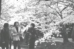 Late cherry blossom
