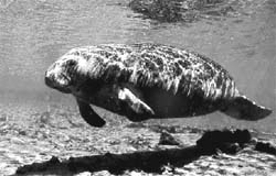 Threat to dugongs
