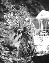 Breeding hyperaccumulators<sc