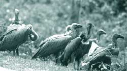 Hope for vultures
