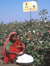 Cotton debate
