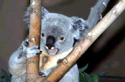 Koala bears thrive in Sydney<s