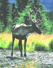 Caribou gets more space (Credit: Canadian Wildlife Service)