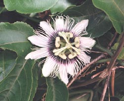 Passion flower: missing from E