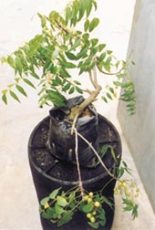 Neem industry: going to seed<s (Credit: Neem Mission)