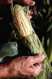 Corn cleared