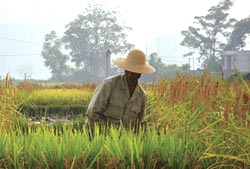 Survey exposes Philippines' rice research body