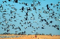 Craning glory: Demoiselle cranes find sanctuary in Rajasthan village