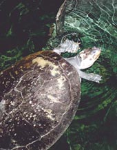 Turtle in trouble