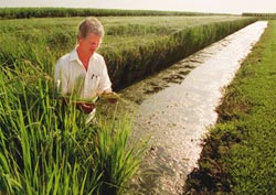 Rice row