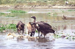 Yet another hypothesis to explain decline in vulture population
