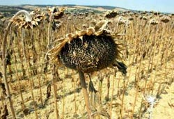 Europe wilted: a sunflower fie (Credit: REUTERS)