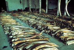 The African ivory stockpiles:<
