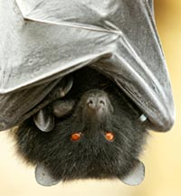 The Comoro black flying fox: t (Credit: Conservation International)