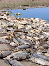 Thousands of fish die off the<