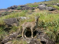 The Nilgiri tahr: grim future?