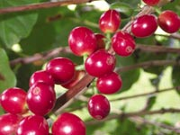Berry good: naturally decaffei