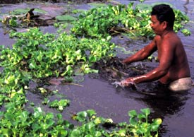 Scientists find fungus to rein in water hyacinth