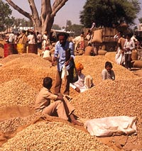 Groundnut farmers will no long (Credit: ICRISAT)