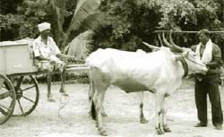 Bullock cart in its new avatar